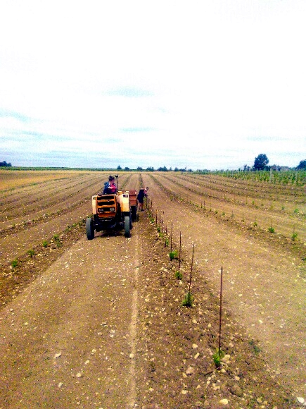 protection des pieds de Vigne lors de la plantation