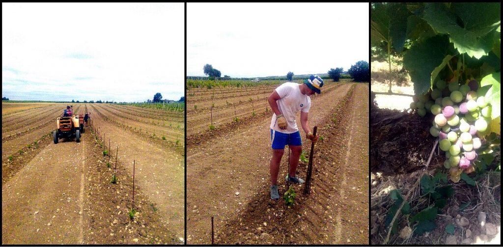 Travail de la vigne et vin charentais